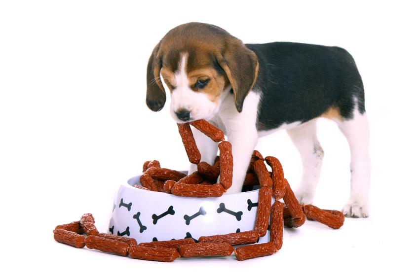 Beagle Welpe holt Würstchen aus dem Napf